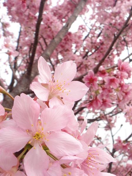 洲美櫻花盛開