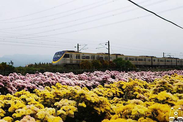 社頭雙義路黃粉色花田和區間號列車3.jpg