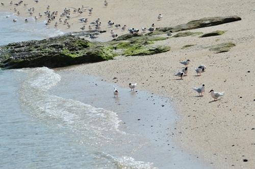 小白沙嶼是觀察燕鷗的最佳地點