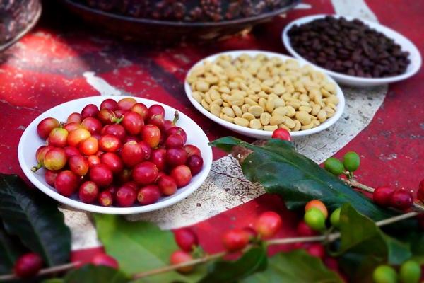麝香咖啡豆.JPG