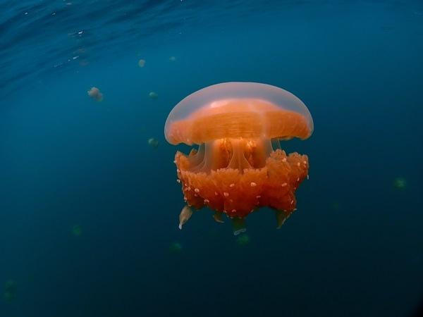 Jellyfish Lake2.jpg