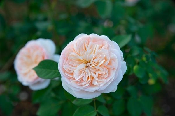 Juliet茱麗葉玫瑰.JPG