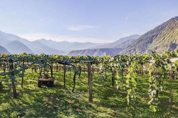 玉山山下陳有蘭溪溪谷的葡萄結實纍纍,是孕育巨峰葡萄生長的好地方.jpg