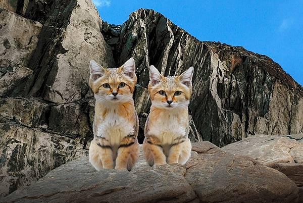 sand cat沙漠貓.jpg