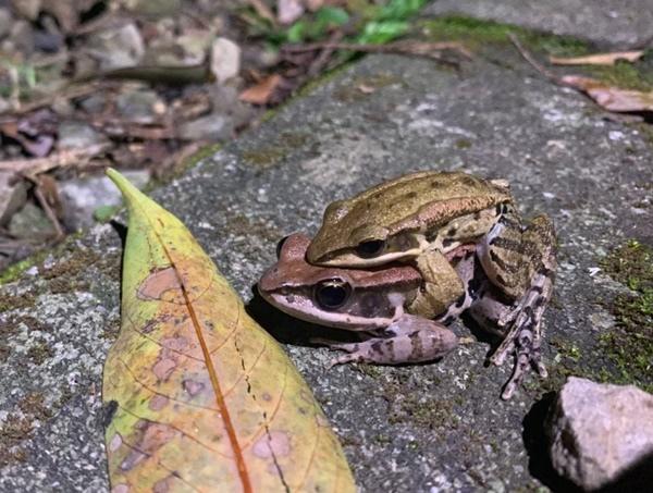 拉都希氏赤蛙.jpg