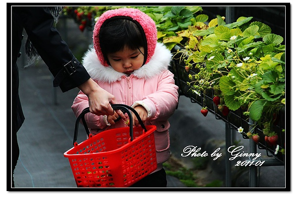 採草莓4.jpg