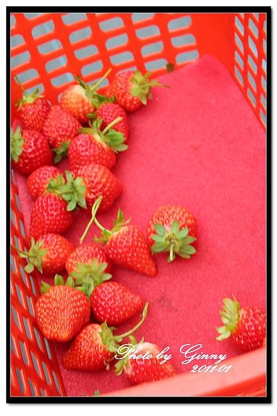 採草莓4-1.jpg