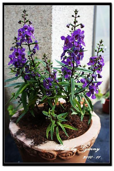 小紫花1.jpg
