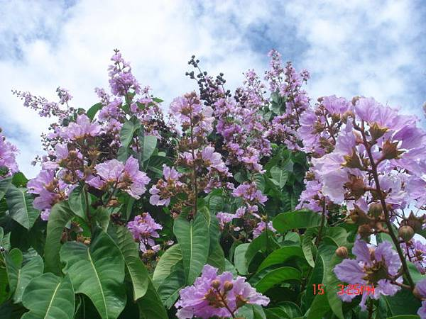 紫色花開1.JPG