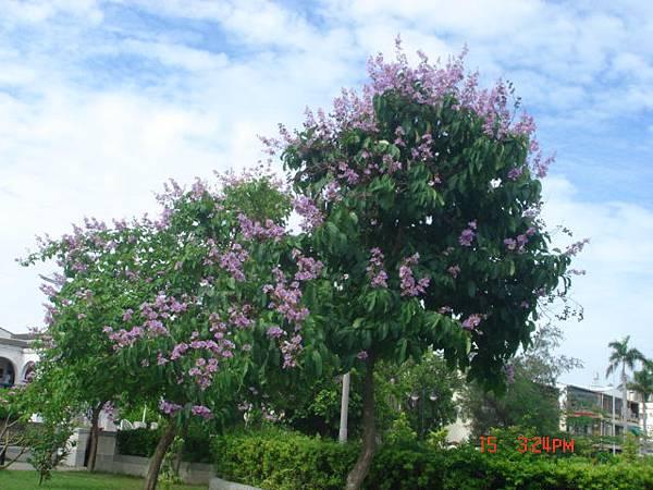 紫色花開1 (2).JPG