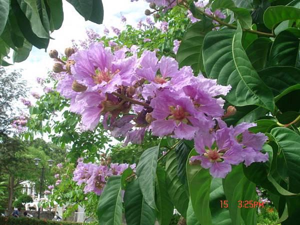 紫色花開1 (3).JPG