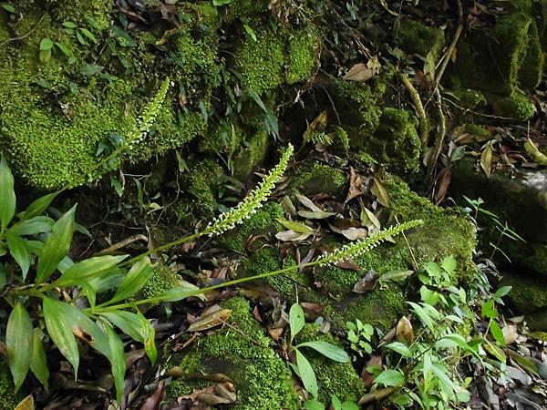 穗花斑葉蘭(蘭科斑葉蘭屬).20140410-18
