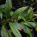 穗花斑葉蘭(蘭科斑葉蘭屬).20140410-15