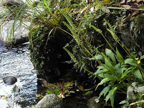 穗花斑葉蘭(蘭科斑葉蘭屬).20140410-6