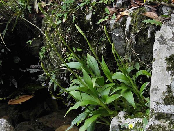 穗花斑葉蘭(蘭科斑葉蘭屬).20140326