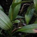 穗花斑葉蘭(蘭科斑葉蘭屬).20140410-16