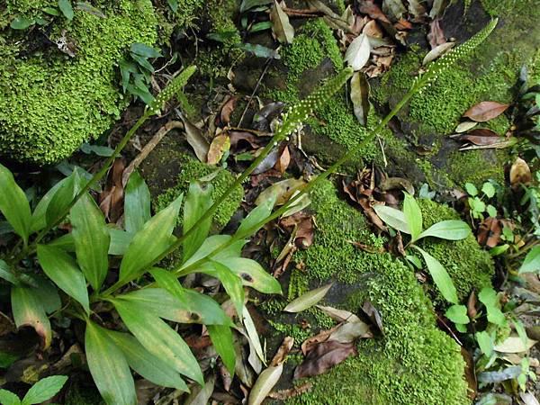 穗花斑葉蘭(蘭科斑葉蘭屬).20140326-7