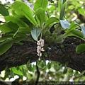 扁球羊耳蒜(蘭科羊耳蘭屬)熟果.20130819-2.JPG