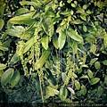 扁球羊耳蒜(蘭科羊耳蘭屬)花苞.20140113-2.JPG