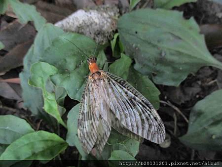 竹子湖斑翅蝎石蛉.20140720