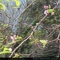 竹子湖昭和櫻.20150905-3.JPG