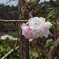 竹子湖墨染櫻.20150926-4.JPG