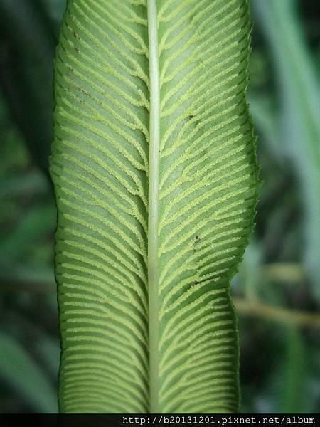 大屯登山車道華鳳ㄚ蕨(鳳尾蕨科鳳ㄚ蕨屬)未熟孢子.20130526-3.jpg