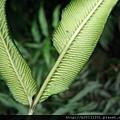 大屯登山車道華鳳ㄚ蕨(鳳尾蕨科鳳ㄚ蕨屬)未熟孢子.20130526-5.jpg
