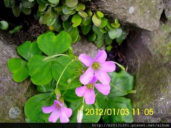 紗帽路紫花酢漿草(酢漿草科酢漿草屬).20120103-3.JPG