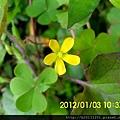 紗帽路酢漿草(酢漿草科酢漿草屬)盛開.20120103.JPG