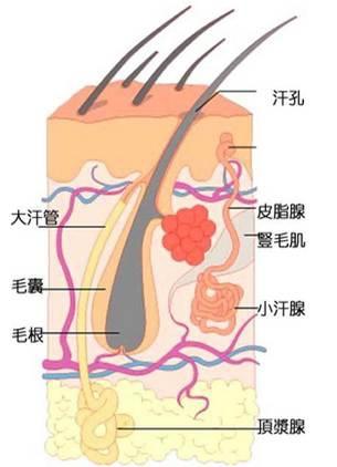 汗腺的結構