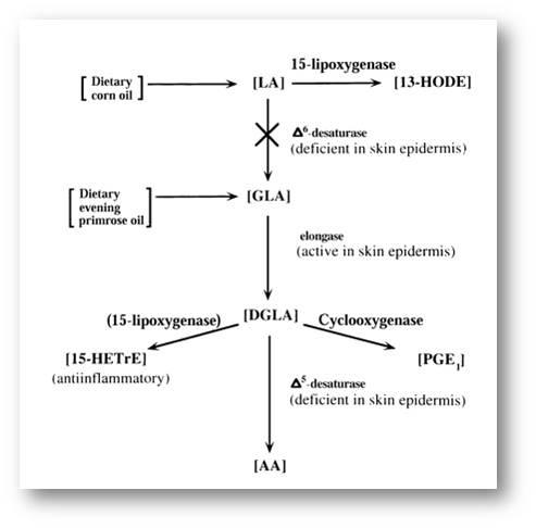 Omega6的代謝
