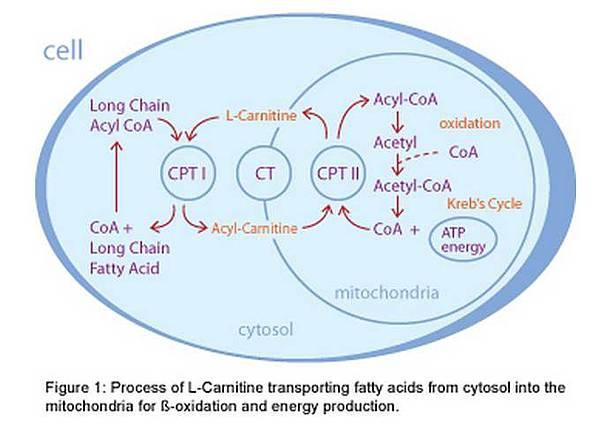 肉鹼參與脂肪代謝的作用