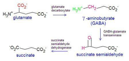 GABA的合成
