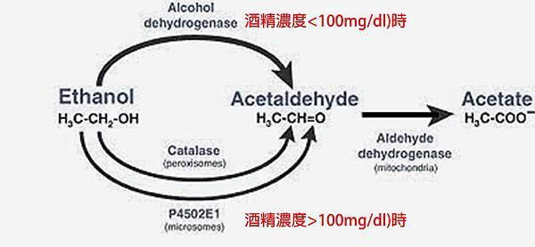 酒精代謝3