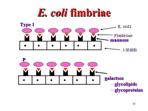 E coli的機轉圖