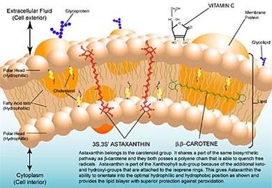 astaxanthin的跨膜效應