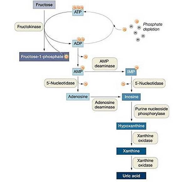 果糖增加尿酸的機轉