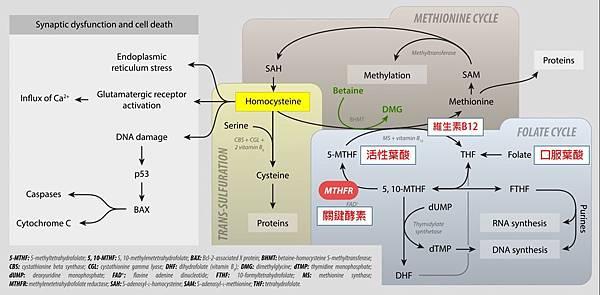 葉酸的代謝2