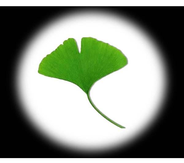 銀杏葉萃取物對青光眼有幫助嗎?