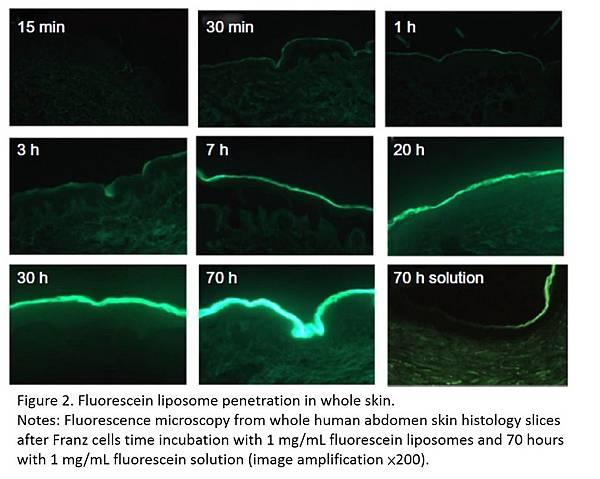 liposome穿越細胞膜的螢光圖