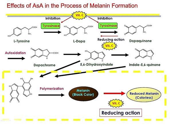 維生素C影響黑色素的形成