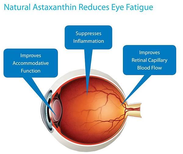 蝦紅素改善眼睛疲勞的機轉