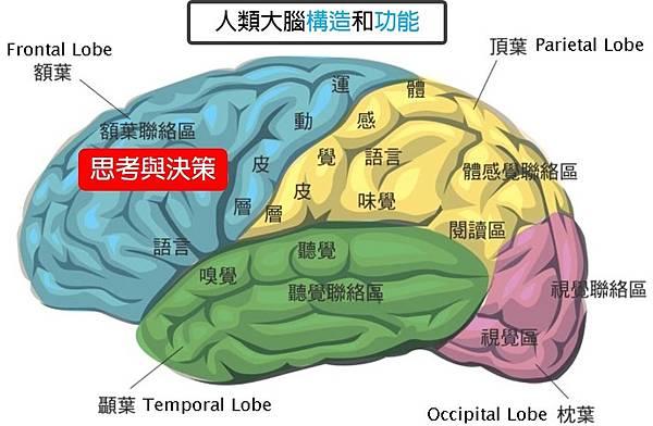 大腦構造及功能