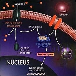 GFT與胰島素及細胞的作用關係