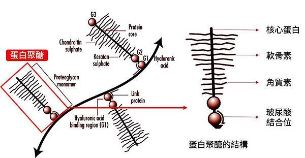 蛋白聚醣的結構