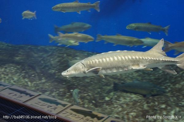 D1-03.千歲.鮭魚的故鄉 (19).jpg