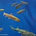 D1-03.千歲.鮭魚的故鄉 (20).jpg