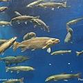 D1-03.千歲.鮭魚的故鄉 (22).jpg