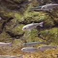 D1-03.千歲.鮭魚的故鄉 (28).jpg
